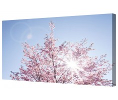 Sunlit Cherry Blossom Framed Canvas Wall Art Picture