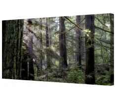 Morning Light in An Ancient Redwood Forest Framed Canvas Wall Art Picture