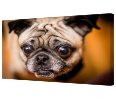 Funny Pug Dog Framed Canvas Wall Art Picture